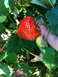 strawberry on stem
